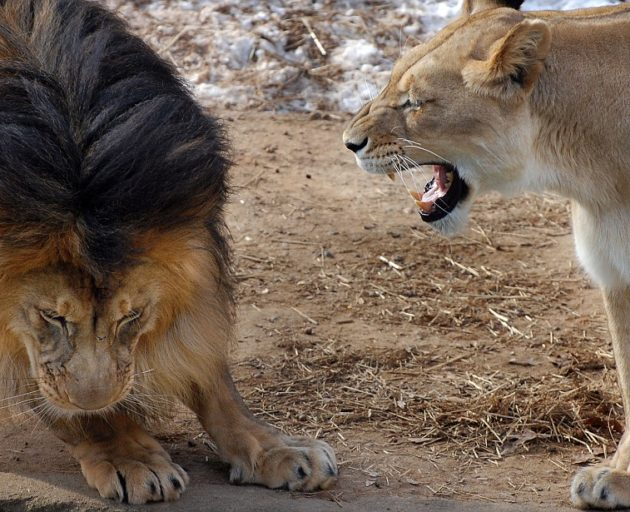 PIC BY JENNIFER LOCKRIDGE / CATERS NEWS - A father and daughter playfight looks a lot different when dad is a 400lb killing machine - but luckily for this little lion cub his cheeky nib at fathers tail didnt end in tears. In this hilarious picture little lion cub Lusaka ferociously grabs dads between her teeth - an action which sees her tiny paws lift off the ground. Sadly for Lusaka rather than dad Luke howling in pain like a wounded wildebeest, the king of the jungle seems to pretending not to notice. Despite the pestering Luke eventually gives in and like all good dads decides to join in the mock life-and-death struggle. Like a feline WWF wrestler he pins his mini assassin off-spring to the ground in mock anger. The remarkable record of life with the family of lions was recorded by amateur photographer Jennifer Lockridge, at the National Zoo, in Washington DC. SEE CATERS COPY.
